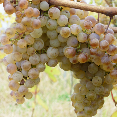 Biele vína